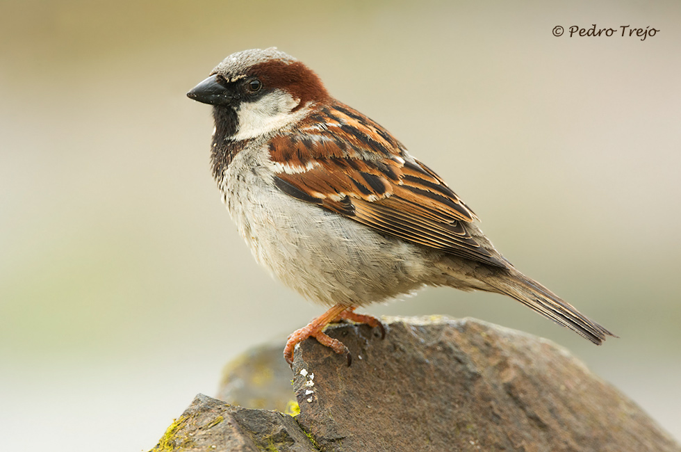 Gorrion comun (Passer domesticus)